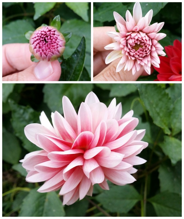 TIME! to study the perfectly folded petals of these Dahlias and feel the marvel that they deserve. What a luxury :-)